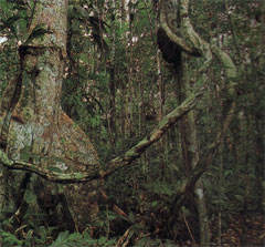 Bosque. Los bosques son los pulmones de nuestro planeta.
