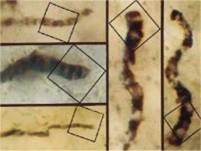Fósil más antiguo encontrado en Apex (Australia)