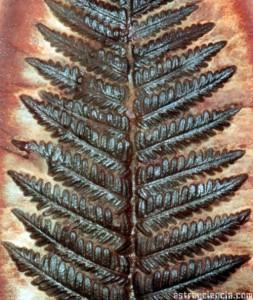 Helecho Fósil del carbonífero de ha 280-345 millones de años