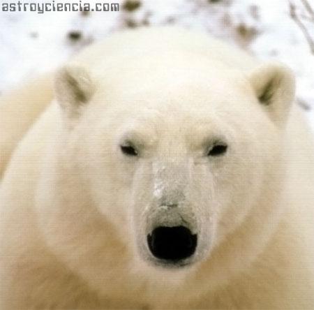 Oso Polar - Vagabundo ártico